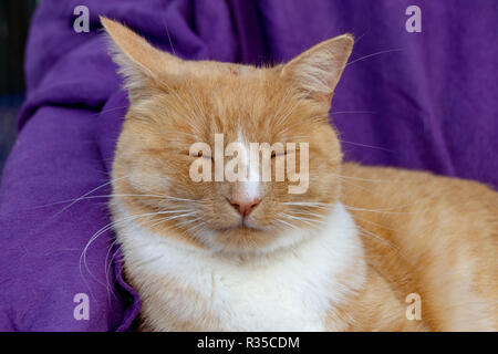Domestic ginger cat with a swollen nose due to pus and abscess from infected cut on head - Stock Image