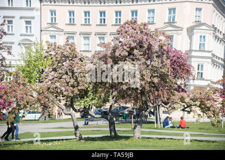 A big blooming tree in a day light. Mid shot - Stock Image