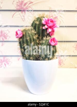 A flowering potted cactus with pink flowers in a home interior - Stock Image