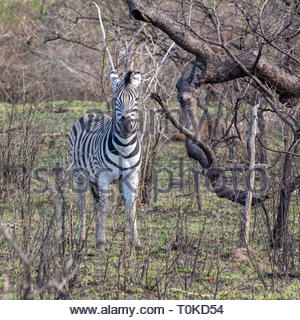 A Zebra in the bush in Kruger Park South Africa - Stock Image