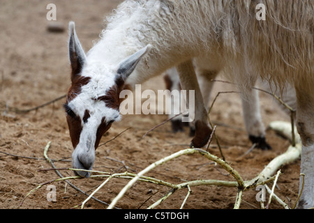 Outdoor image of a Camelid (Camelidae). - Stock Image