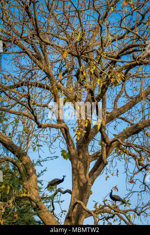 Indian peacock on the tree. - Stock Image