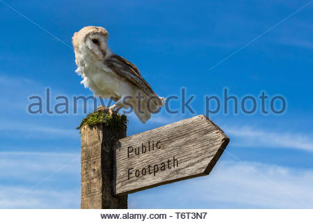 Barn owl (Tyto alba), captive, on footpath sign, Cumbria, UK - Stock Image