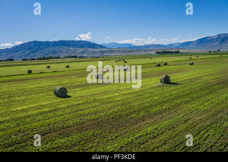 Green cut hay rolled into bales in the farmland of the American west. - Stock Image