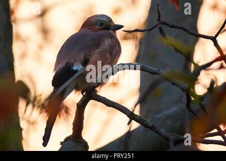 Jaybird in twilight - Stock Image