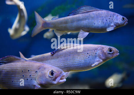 School of Arctic Grayling cold freshwater fish swimming underwater in Ripleys aquarium Toronto - Stock Image