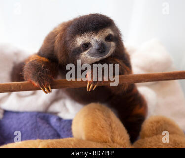 Baby brown-throated three-toed sloth (Bradypus variegatus) during play time in nursery at a sloth sanctuary - Stock Image