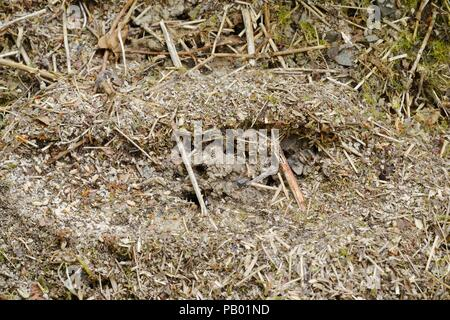 Exposed nest of Black Garden Ant, Lasius niger, workers gathering eggs and pupae, Wales, UK. - Stock Image