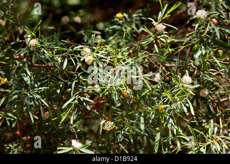 Havoha, a shrubby tree, the fibre of which is used in making paper, cloth, cord, and rope. Ambalavao, South Madagascar, - Stock Image