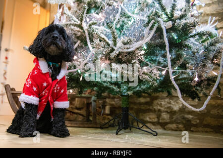 A sweet, black dog wearing Christmas suit by a Christmas tree on Christmas day - Stock Image