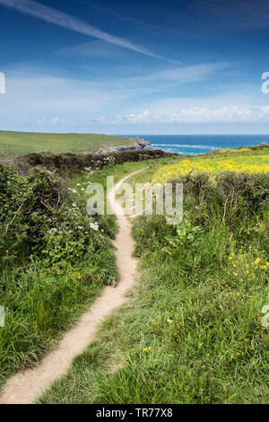 A footpath at the side of a field of Wild Mustard Sinapsis aventis at the Arable Fields Project on West Pentire in Newquay in Cornwall. - Stock Image