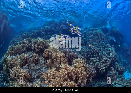 Scuba divers explore mountainous coral reef formations in the Red Sea. - Stock Image