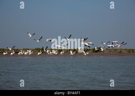 A groupf of great white pelican ( pelecanus onocrotalus)  birds in the Creek area of Gujarat, india - Stock Image