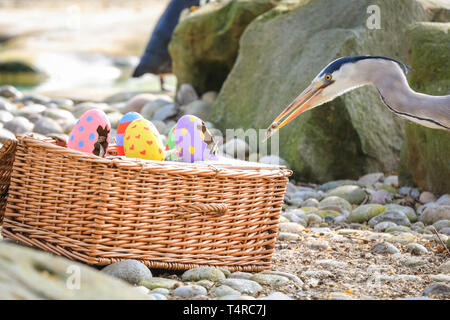 ZSL London Zoo, London, UK. 18th Apr, 2019. The heron manages to squeeze in. The Zoo's resident colony of Humboldt penguins (Spheniscus humboldti) are served their fishy breakfast in a bright Easter basket. ZSL keepers have organised an Easter hunt with surprise treats for the animals. And a cheeky heron also tries to get in on the act. Credit: Imageplotter/Alamy Live News - Stock Image