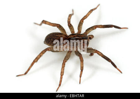 Male Wolf spider (Trochosa terricola) on white background. Wolf spiders are part of the family Lycosidae. - Stock Image
