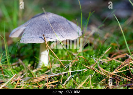 Single bright mushroom is seen in the moss - Stock Image