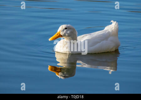 WhiWhite pekin duck (anas platyrhynchos domesticus) swimming on a still clear pond with reflection in the water in early springte pekin duck swimming - Stock Image