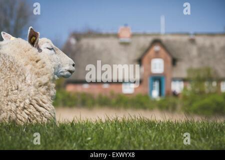 Sheep on dyke, Sylt, Schleswig-Holstein, Germany, Europe - Stock Image