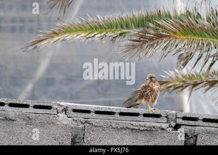 Kestrel perched on a wall with palm trees in the back ground - Stock Image