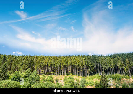 Pine tree forest under a blue sky on a hill in the summer - Stock Image
