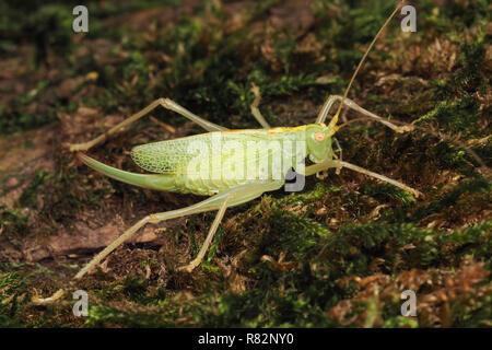 Oak Bush-cricket female (Meconema thalassinum) resting on tree trunk. Tipperary, Ireland - Stock Image
