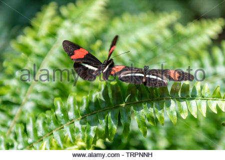 Butterflies on green fern, seen in the Butterfly Conservatory, Niagara Falls, Canada. - Stock Image