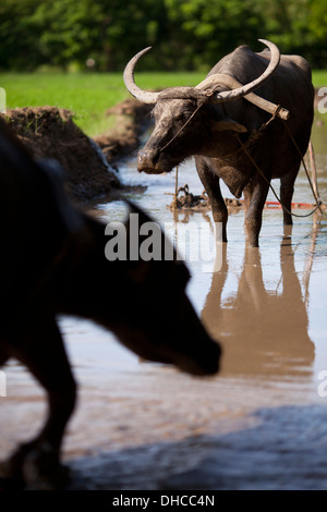 Carabaos are given a rest period while working to level a rice field near Mansalay, Oriental Mindoro, Philippines. - Stock Image