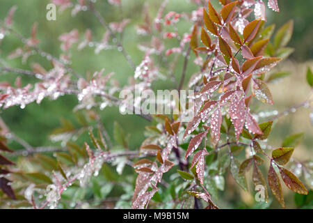 Nandina domestica - Heavenly bamboo - February - Stock Image