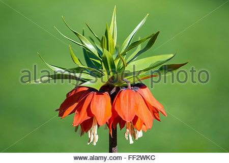 Fritillaria imperialis known as crown imperial, imperial fritillary or Kaiser's crown - Stock Image