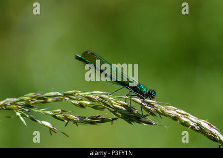 Turquoise female banded demoiselle perched on a grass seedhead in the sun - Stock Image