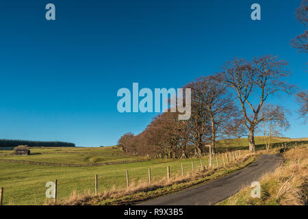 North Pennines AONB landscape, a row of roadside bare beech trees at Ettersgill, Teesdale, in bright winter sunshine and a clear blue sky - Stock Image