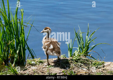 Young egyptian gosling or duckling - Stock Image