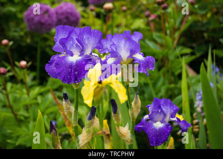 Blue and white irises growing in a garden in north east Italy. The flowers are wet from recent rain. A yellow iris and a purple allium can be seen in - Stock Image