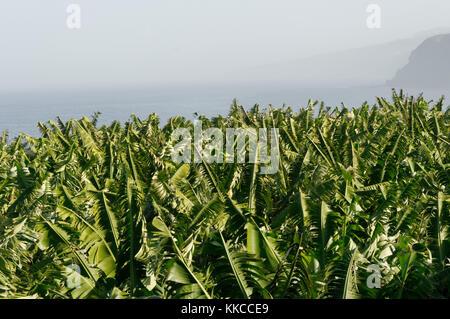 banana plantation plantations bananas plant plants tenerife canary islands canaries - Stock Image