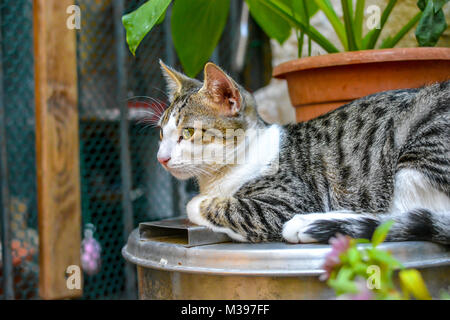 A young tabby cat sits on a pedastal in a garden of a cat shelter in Dubrovnik Croatia - Stock Image