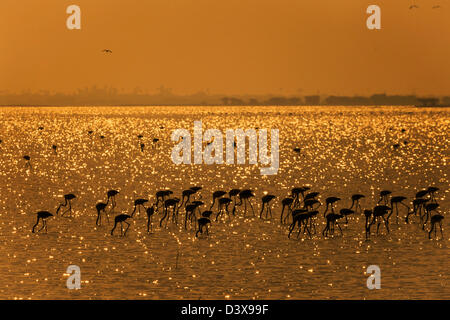 Gold Harvest by Flamingos - Stock Image