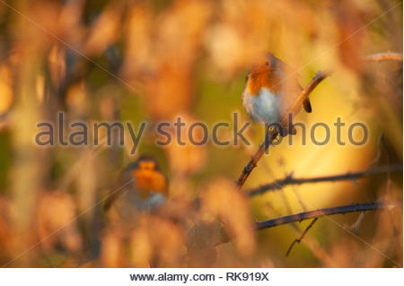 European Robins, Erithacus rubecula, perched in brambles with fluffed up plumage,warm their bodies in morning sunshine, Hampstead Heath,United Kingdom - Stock Image