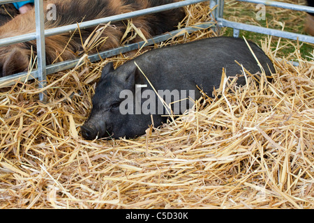 pot bellied pig lying asleep on straw - Stock Image