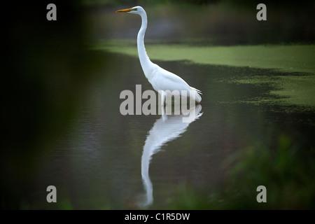 Yellow-billed Egret (Ardea intermedia) Saadani Tanzania - Stock Image