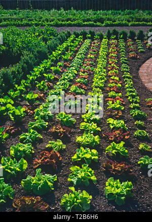 A large display of varieties of lettuce in the vegetable garden of a country house - Stock Image