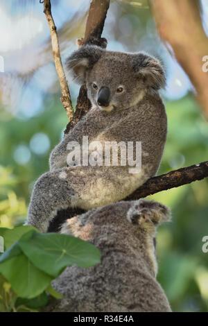 An Australian, Queensland Joey Koala ( Phascolarctos cinereus ) up in a tree - Stock Image