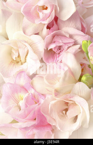 Freesia flowers in pastel pink and white in bright but soft light, very romantic, nostalgic and dreamlike, background - Stock Image