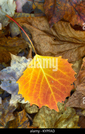 Vibrant birch leaf rests along a trail in Acadia National Park in Maine - Stock Image