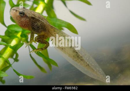 tadpole of Common Frog  Rana temporaria - Stock Image