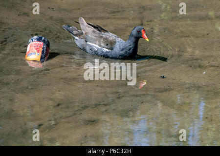 Moorhen swimming past discarded beer bottle rubbish in a shallow lake - Stock Image