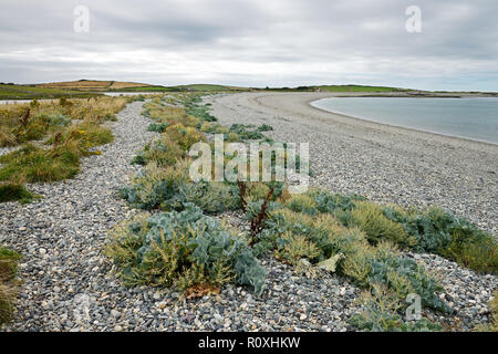 Cemlyn Bay is on the northwest coast of Anglesey. It has a shingle beach  with excellent strandline vegetation. - Stock Image