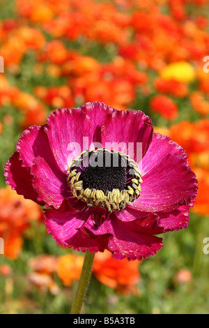 USA Ranunculus is a large genus of about 400 species of plants in the Ranunculaceae family - Stock Image
