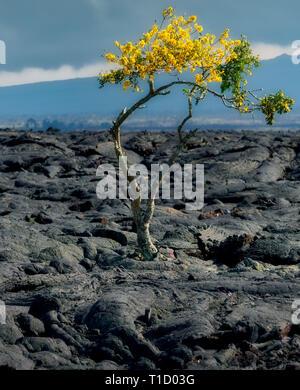 Lone flowering tree in lava field. Hawaii - Stock Image