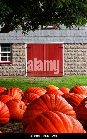 Large pumpkins near tree on rural farm near old rustic barn - Stock Image