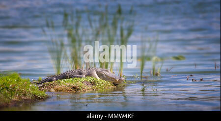 American Alligator sunning itself on a small island in the Florida Everglades. The American Alligator is the apex predator of the Everglades. - Stock Image